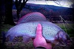 Welsh Dee Grayling